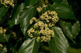 5 Variety Seeds - Japanese Raisin Hovenia Dulcis Tree Seeds #TSP - $16.99+