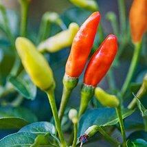500 Seeds Tabasco Pepper Seeds, Hot Chili Pepper, NON-GMO - $9.90