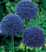 160 Seeds - Blue Giant Allium Giganteum Flower Seeds – Perennials - SBC - $19.95