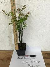 """Dwarf Burning Bush plant 4"""" pot Hardy Shrub (Euonymus Alatus) image 3"""