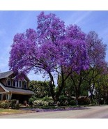 Royal Empress Tree Seeds (Paulownia tomentosa) 50+Seeds - $21.98