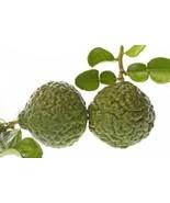Kaffir Lime Citrus Tree Asian Grafted CANNOT SHIP TO AZ,CA,FL,GA,HI,LA, ... - $89.99