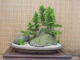 CRYPTOMERIA YOSHINO Japanese Cedar image 5