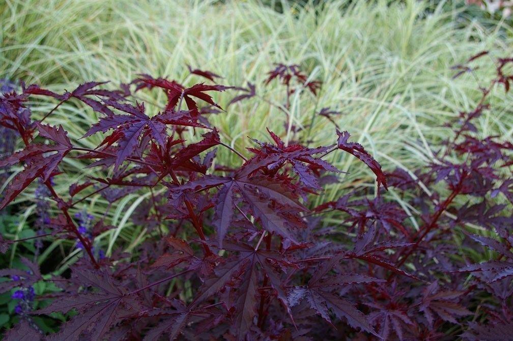 Mahogany Splendor Tropical Hibiscus 5 And 12 Similar Items