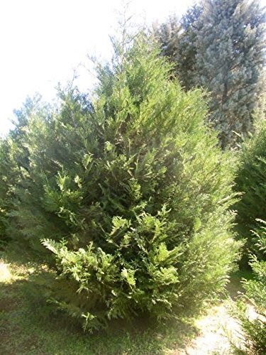 Primary image for 100 Murray Cypress Evergreen