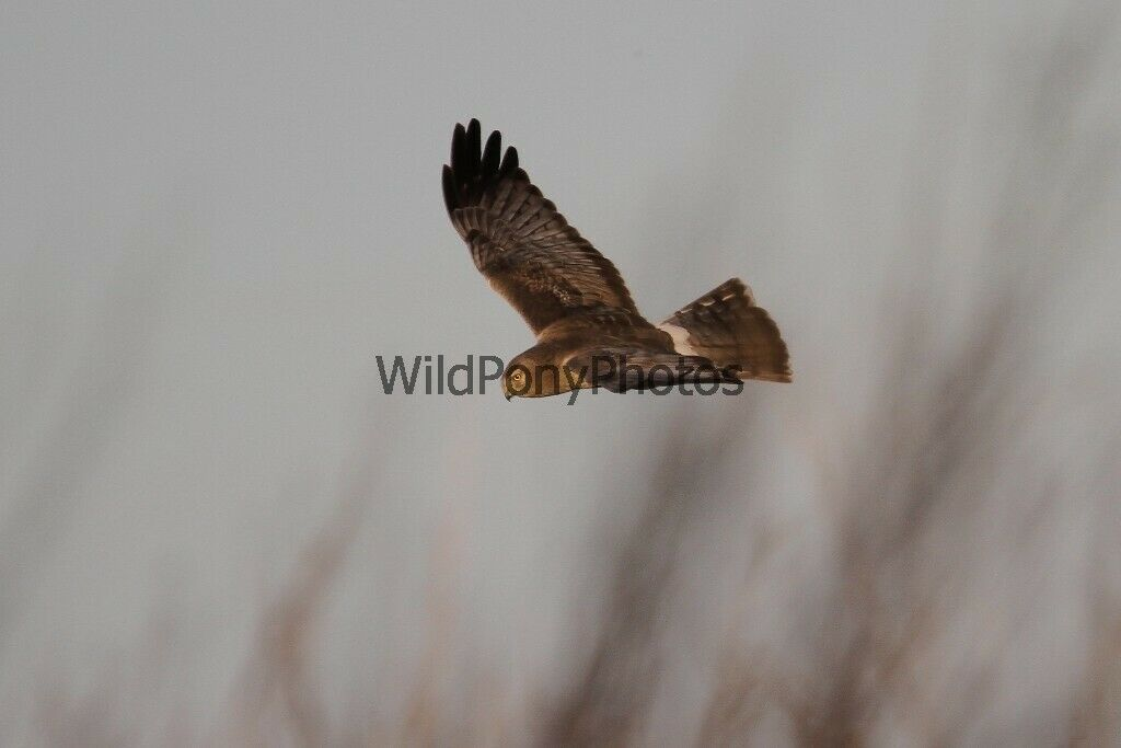 Primary image for Northern Harrier - Gray Ghost Photo - Various Sizes