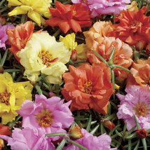 100 Seeds - Mix Moss Rose Sundial Portulaca  - $9.99