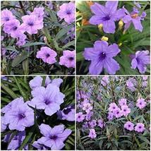 12 Mexican Petunia~Ruellia Brittoniana Perennial Well Rooted Plants Shrub Garden - $47.99