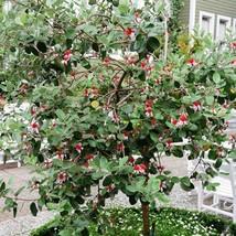 20Pcs Pineapple Guava Tree Seeds Acca Sellowiana Fruit Seed - $20.54