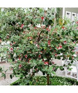 20Pcs Pineapple Guava Tree Seeds Acca Sellowiana Fruit Seed - $20.54