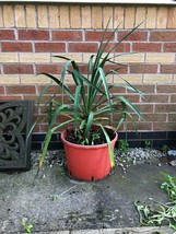 YUCCA FILAMENTOSA PLANT CROYDON SOUTH LONDON HEALTHY MATURE PLANTS ADAMS... - $43.01