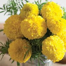 Giant Yellow Marigold Seeds / Marigold Flower Seeds - $21.00