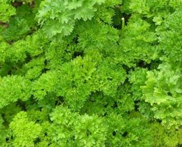 SHIP FROM US Parsley, Forest Green Heirloom Seeds - Fresh and Hand Packa... - $6.00