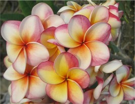 Sophia Rare & Exotic very fragrant Hawaiian Plumeria Frangipani cutting - $15.95