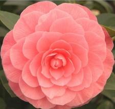 Flower Seeds 100 pcs Multi Color Beautiful Double Camellia Impatiens Semente - $2.00