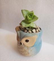 "Succulent in Ceramic Owl Planter, Crassula String of Buttons, 2.5"" Animal Pot image 4"