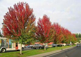 Autumn Blaze Maple quart pot image 3