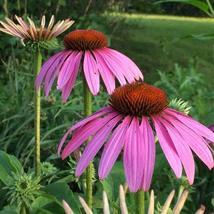 Non GMO Bulk Purple Coneflower Seeds Echinacea purpurea (50 Lbs) - $1,782.00