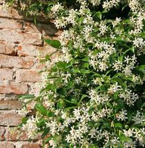 Cestrum nocturnum Plant Jasmine Night Blooming 4-6 inches Bare root - $20.49