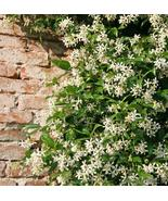 Cestrum nocturnum Plant Jasmine Night Blooming Approx 4 inches Bare root - $19.49