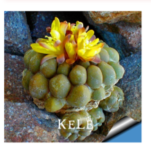 10seeds Aurora ball Cactus flores bonsai Succulent Plant rare flower plantas  - $4.75