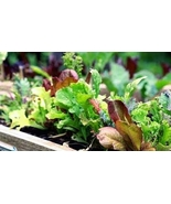 5 Variety Edible Vegetable Lettuce Mesculin Mix Microgreens Fresh Seeds ... - $15.10+