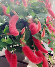 100pcs Very Excellent Acalypha Hispida Bonsai Chenille Seeds RedHot Catt... - $14.99