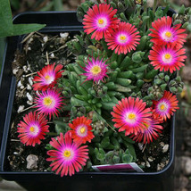 100 seeds - Gelato Bright Red Ice Plant Mesembryanthemum Daisy Livingsto... - $17.99