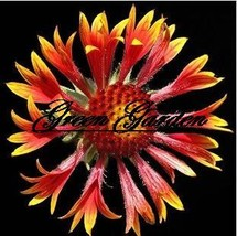 30pcs/original pack Ggaillardia, Rose-ring gaillardia seeds beautiful flower bon - $7.71