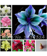 2 Bulbs True Amaryllis Bulbs,Hippeastrum Bulbs bonsai flower Amarilis Ri... - $5.99