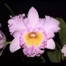 Blc. Mahina Yahiro 'Julie'. CATTLEYA Orchid Plant Pot BLOOMING SIZE 0506 J - $38.69