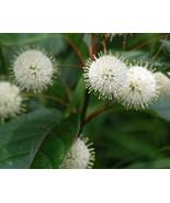 Cephalanthus Occidentalis (Button Bush) 20 seeds - $1.76