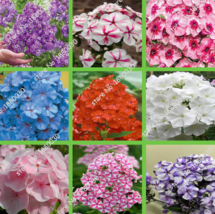 100 SEED unique 24 different colors US phlox flowers potted bonsai seeds A - $4.20