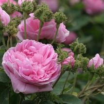 100 Seeds - Portulaca Moss Rose Pink Flower - $8.99