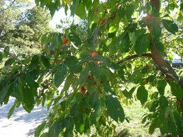 American Persimmon tree (Diospyros virginiana 'American) quart pot image 2