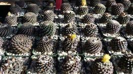 Copiapoa tenuissima Cactus Cacti Succulent Real Live Plant - tkplade - $40.99+