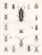 Scarce Original 1860 Engraved Plate  of Beetles , Antique Insect Print - $25.00