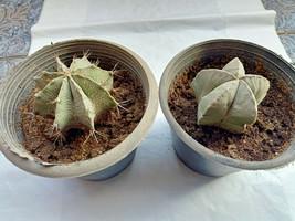 2X Astrophytum Cactus Plants ON Roots Amazing Cacti Myriostigma & Ornatu... - $59.99