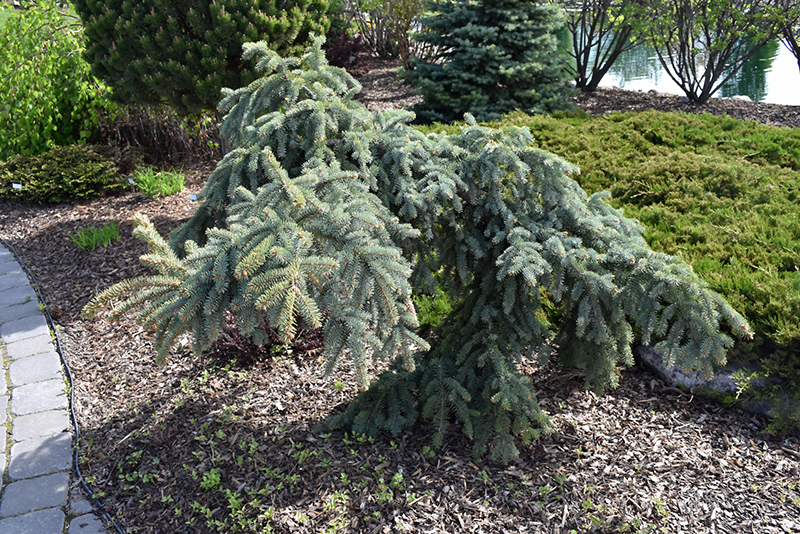 Primary image for Weeping Blue Spruce 'The Blues' - Live Plant - Trade Gallon Pot
