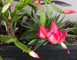 PRICE DROP: CHRISTMAS CACTUS YOUNG GROWING PLANT  - $0.65
