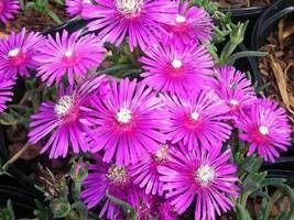 25 seeds - Table Mountain Ice Plant Magenta Fuchsia Delosperma Cooperi #... - $17.99