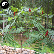 Buy Torch Tree Seeds 100pcs Plant Rhus Typhina Tree For Lacquer Tree Huo... - $9.99