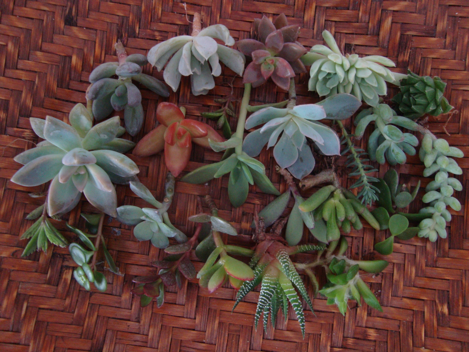 25 Assorted Succulent Cuttings - Wedding, Guest Favors, Terrarium, Cakes, Garden - $25.00