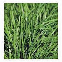 Chive Seeds, Herb, Heirloom, Non GMO, 50+ Seeds, Great Fresh or Dried Herb - $4.49