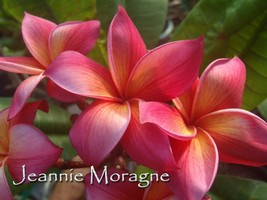 Jeannie Moragne Hawaiian Plumeria Frangipani tip cutting Fragrant Rare Exotic - $16.00