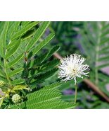 50 seeds Desmanthus illinoensis bundleflower - $4.94