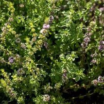 200Pcs Lemon Catnip Herb Seeds Nepeta cataria Seed - $19.27