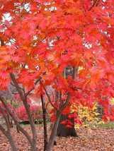 3 Variety Seeds -  Full Moon Maple Acer Japonicum Tree Seeds #TSP - $16.99+