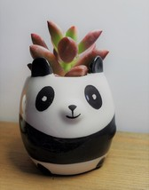 "Ceramic Animal Planter & Live Succulent 2"" Panda Pot Graptosedum Alpenglow"
