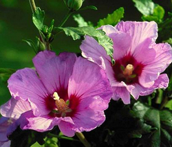 25 Seeds - Purple Rose Sharon Hibiscus Syriacus Tree Bush - $7.99